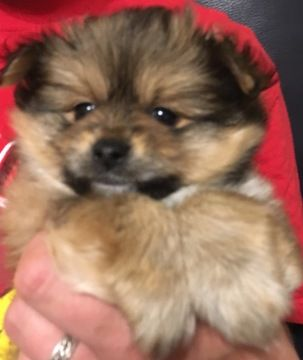 Paperanian puppy for sale in STOKESDALE, NC. ADN-37694 on PuppyFinder.com Gender: Male. Age: 6 Weeks Old