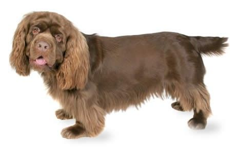 Sussex Spaniel information including pictures, training, behavior, and care of Sussex Spaniels and dog breed mixes.