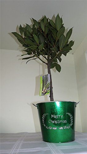 Green Merry Christmas Pail With Bay Tree Outdoor Planters