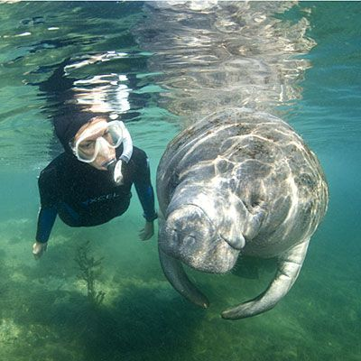 Not far from me here in Florida is Crystal River - The best place in the country to experience the gentle West Indian manatee is in the springs and protected estuary of this coastal hamlet. If you are quiet and swim SLOWLY you can enjoy an awesome manatee encounter!