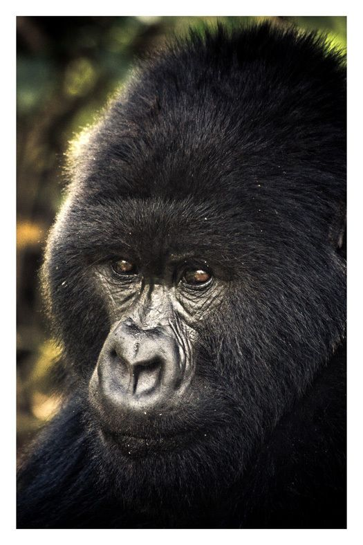 Why are gorillas becoming extinct?