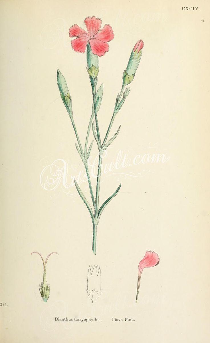 Clove Pink, dianthus caryophyllus      ...