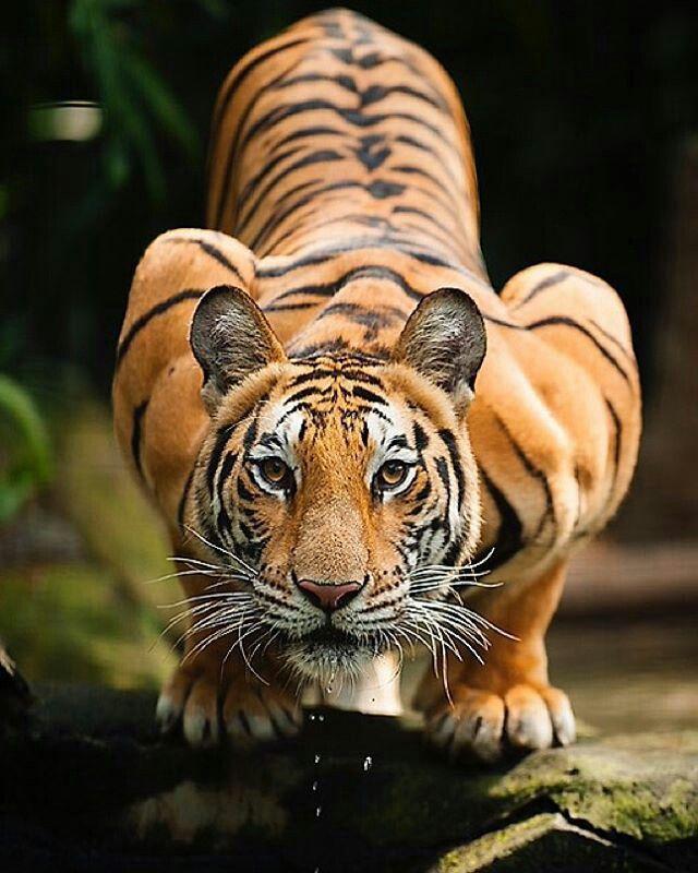 Tiger in cobra pose!