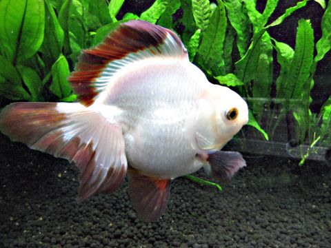 314 best images about gotta love fantail goldfish on for Can tropical fish live with goldfish