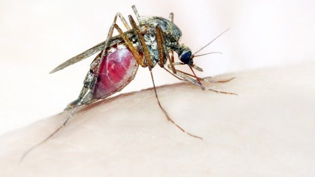 Malaria is responsible for approximately 445,000 deaths every year. That number may be due to drop, however, as scientists have found that a human-safe blue dye kills parasites in patients' bloodstreams within two days – that's faster than has ever been possible before.