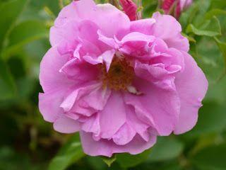 Rosa sp. Örträsk '
