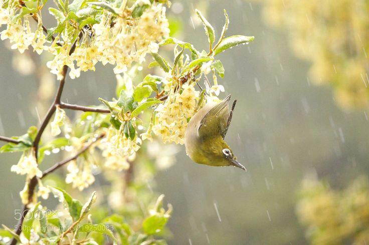 The birds in the rain (AIR BAG / Kyushu Island / Kyushu Island) #Canon EOS 7D Mark II #animals #photo #nature