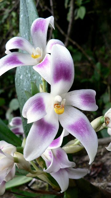 Orchidée Camaridium ampliflorum