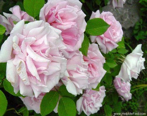 'Kathleen Harrop' Rose Photo