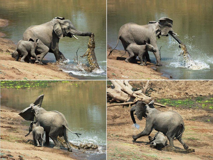 The moment a brave elephant mum shakes a vicious crocodile off her trunk    Photograph courtesy Martin Nyfeler    Found @ Facebook