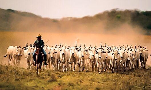 Llaneros arriando ganado en nuestros maravillosos Llanos Orientales.