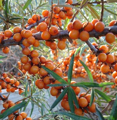 Seabuckthorn Berry oil or Seabuckthorn Seed oil...which should I choose?