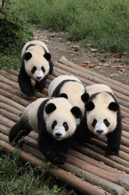 Chengdu Research Base of Giant Panda Breeding - Cub Enclosure - Shu Yun, Ya Lin, Shuang Qing, Da Mao & Yuan Zi 001 by giantpandazoo.com, via Flickr