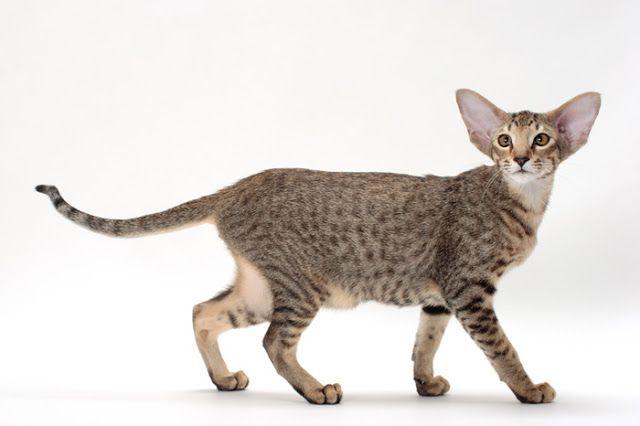 Nekoblog: Kucing Oriental Shorthair   Jenis Kucing