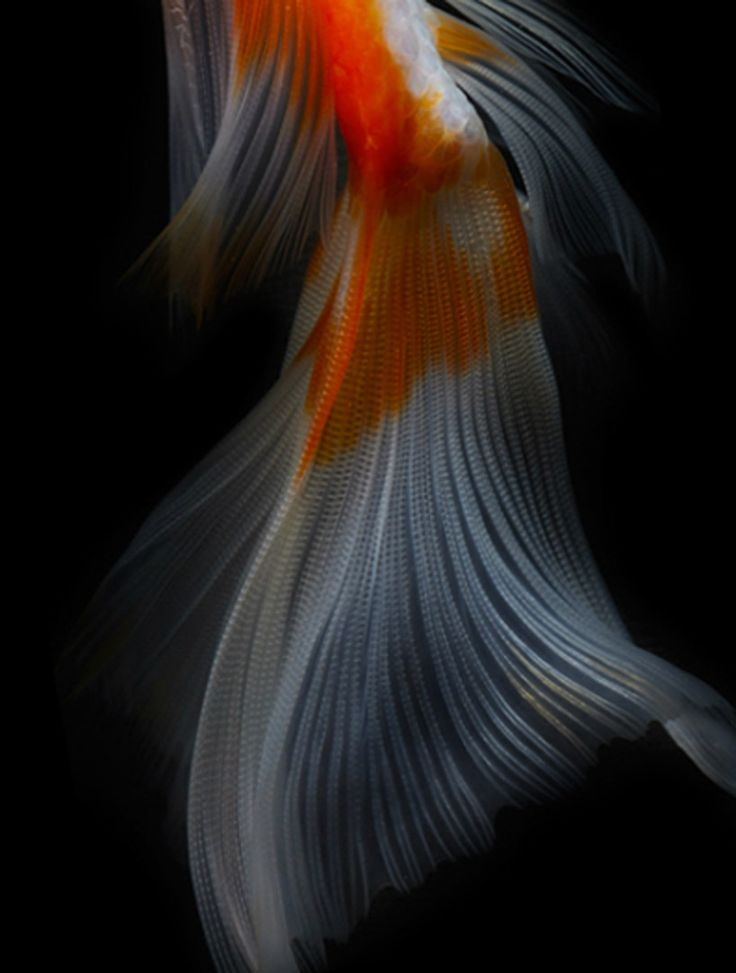 152 best goldfish art images on pinterest fish pisces for Koi fish tail