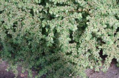 Pilea microphylla prostrata