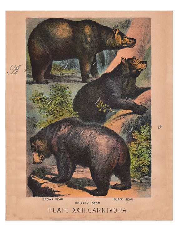Antique Illustration of Bears by Henry Johnson.. by artdeco (Craft Supplies & Tools, Scrapbooking Supplies, Scrapbooking Clip Art, antique, illustration, bears, vintage images, digital images, printable, vintage, color lithograph, antique print, craft supplies, home decor, animal, vintage printable)