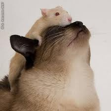 Kitty and rat buddies