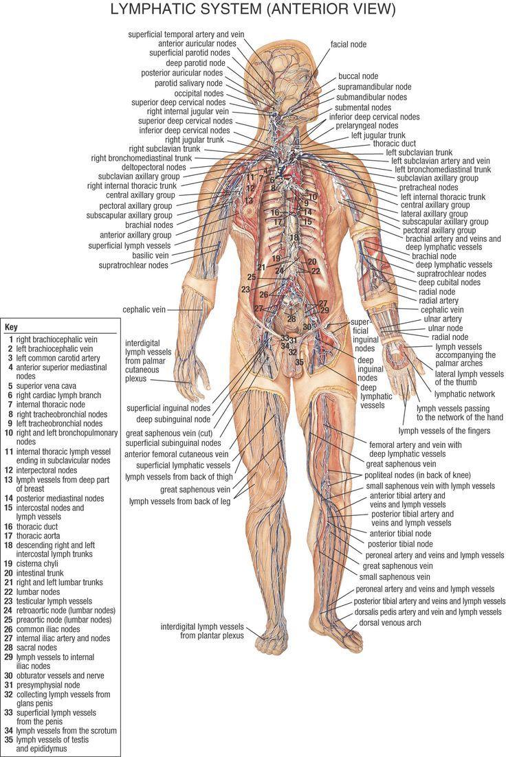Female Lymphatic System Diagram   Female Lymphatic System Diagram Lymphatic System Diagram