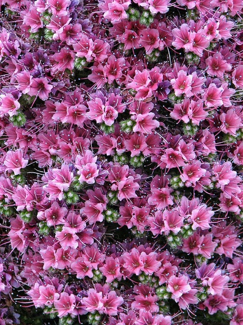 Tower of Jewels, (Echium Wildpretii), Kew Gardens, London - BEARTOMCAT (Bear-Back but busy