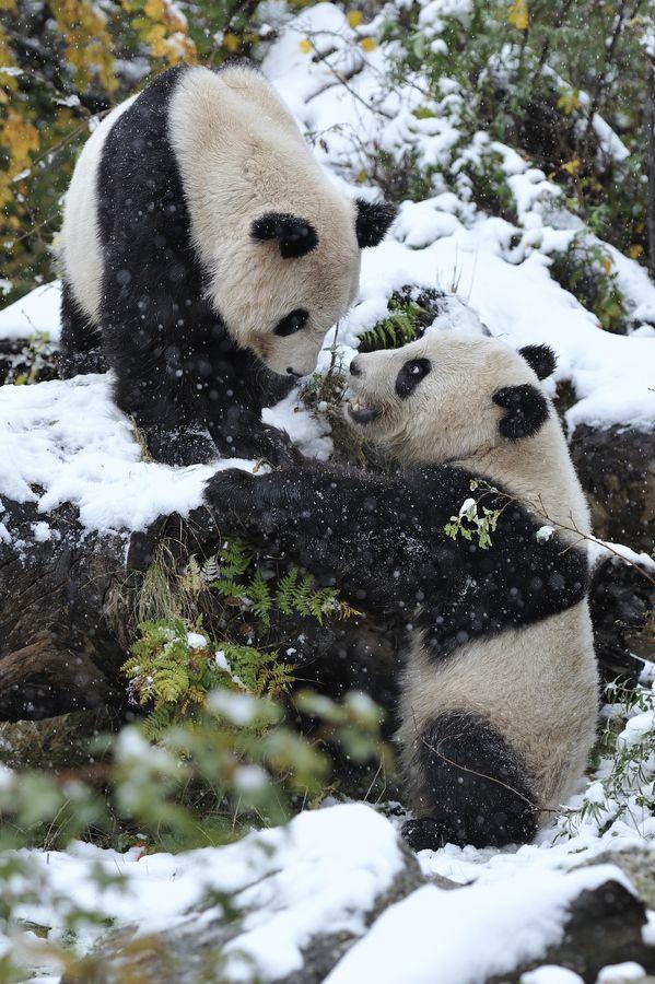 Snow Pandas by Josef Gelernter, via 500px