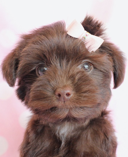 Yorkie-Poo Puppy :)