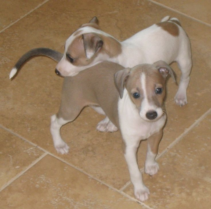 italian greyhound dachshund puppies - Google Search
