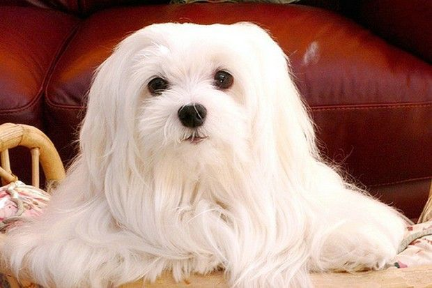 20 Cool Facts About The Maltese Breed Maltese Dogs Maltese Dog