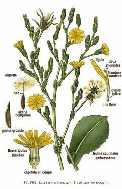 「lactuca virosa australia」の画像検索結果
