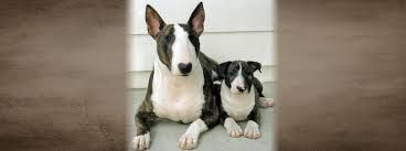 spuds mackenzie dog breed - Google Search