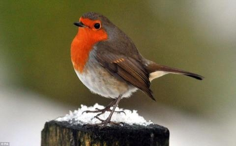 British robin, or robin redbreast. Image found on Pinterest, and also ironically used to illustrate Pointman's screed for DDT.