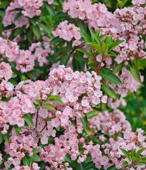 State flower of Connecticut, Kalmia latifolia (Mountain Laurel) is a broadleaf evergreen shrub that gets covered with abundant clusters of bright pale pink flowers, opening from deeper pink buds and lasting for several weeks in late spring and early summer.