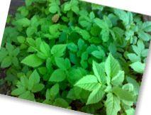 In zevenblad zit veel vitamine C, kalium en magnesium. Wellicht kunnen we het nog beter groente noemen. Het is immers het groene blad dat je eet en het kan bereid worden als Spinazie. Dus is het ook geschikt voor gerechten waar je ook spinazie in kan doen.  Het kan ook rauw worden gegeten, maar dan alleen het jonge blad gebruiken.Geneeskundige werking van Zevenblad  - Verlichtend bij reuma  - behandeling tegen jicht  - Verlichtend bij pijnlijke gewrichten
