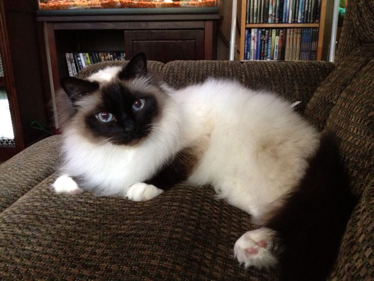 Hanging out with my boy Chewy (seal point Birman).
