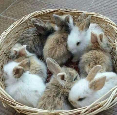 """DOMESTIC RABBIT or BUNNY...any of the domesticated varieties of the European rabbit species.... range sizes from """"dwarf"""" to """"giant""""....kept as pets in Western nations since the 19th century....alert, timid creatures that startle fairly easily....50+ different, standardized breeds have been developed"""
