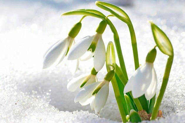 Galanthus Snow Drop Zones 3 9 Flower Seeds Flower Garden Bonsai Garden