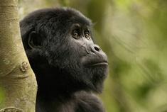 Passage To Africa - Bwindi impenetrable Forest - Uganda