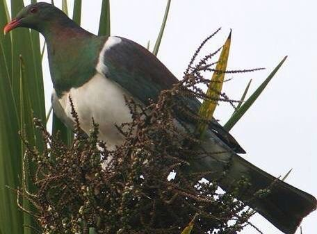 """Tui in """"cabbage tree"""""""
