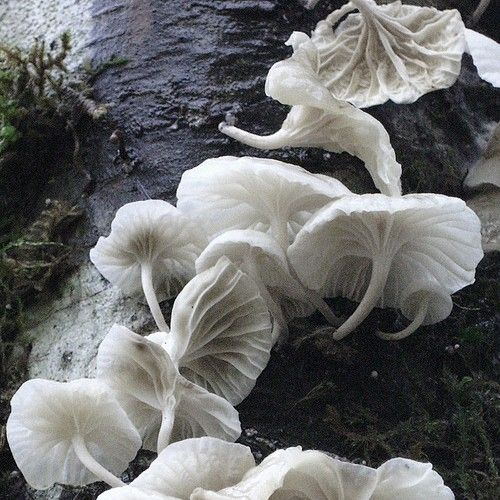 ..: Angel, Magic Mushrooms, Natural Beautiful, Ballerinas, Pure White, Mushrooms Fungi Lichen, Mushrooms Fungus, Wild Mushrooms, Chiffon