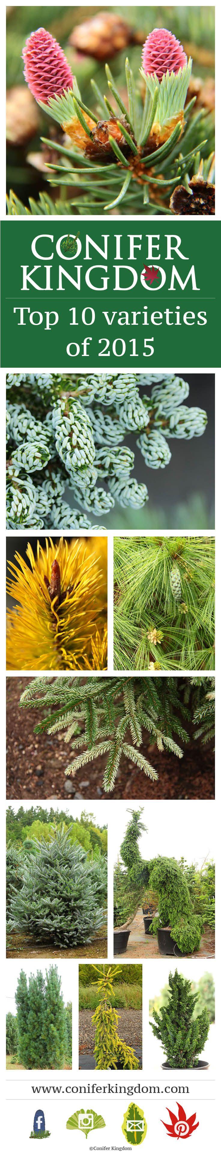 Our top 10 varieties of 2015. 1. Picea pungens 'Ruby Teardrops' 2. Abies koreana 'Kohout's Ice Breaker' 3. Pinus contorta 'Chief Joseph' 4. Pinus x. schwerinii 'Wiethorst' 5. Picea orientalis 'Silver Seedling' 6. Abies koreana 'Horstmann's Silberlocke' 7. Picea omorika 'Pendula Bruns' 8. Pinus strobus 'Stowe Pillar' 9. Picea abies 'Gold Drift' 10. Chamaecyparis obtusa 'Chirimen' Read more about each of the varieties on our blog » http://blog.coniferkingdom.com/top-10-varieties-of-2015/