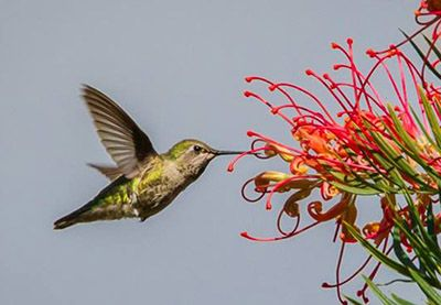 Hummingbird Day at the UC Santa Cruz Arboretum is Saturday, March 4