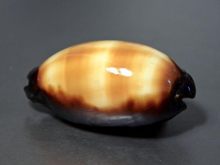 Seashell, Cypraea talpa, Philippines, 67 mm