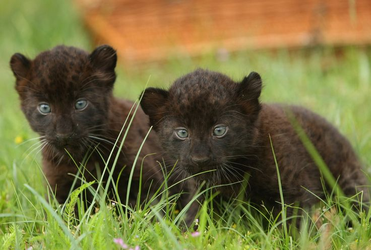 animal panthers cubs - photo #3