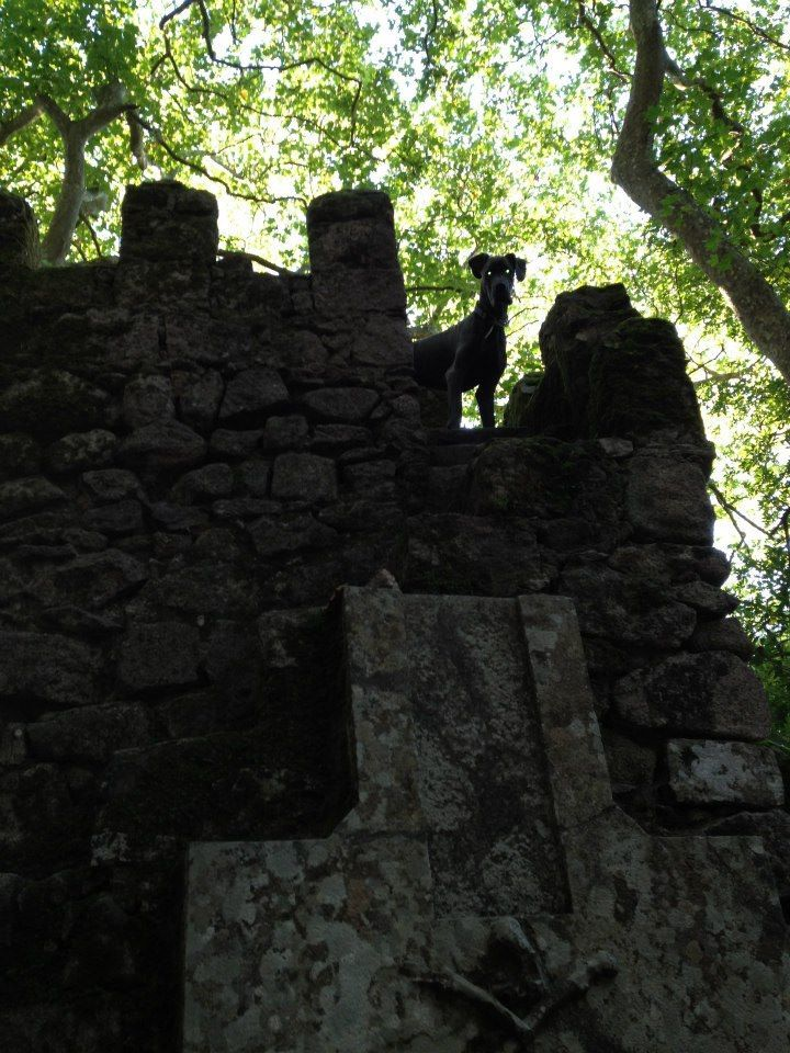 I love climbing!  This was taken at the Moorish Castle in Sintra, Portugal, one of my favourite morning walk places!  #greatdane