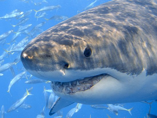 areal photos of sharks along coastlines | Two great white sharks have been tagged with satellite tracking ...