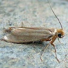 Clothes moth larvae feed on wool, feathers, fur, hair, leather, lint, dust, paper. which are especially damaging to fabric stained with beverages.