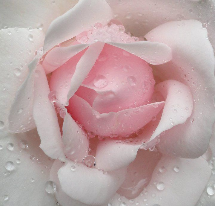 PINK ROSE - available for purchase from tresfolia.com