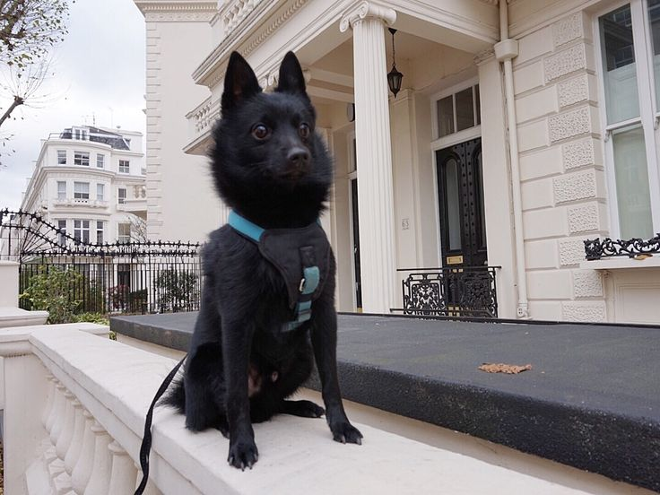 Drogo Schipperke | Pawshake London