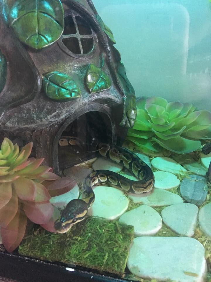 my snake Louise the BP. She's in her new terrarium theme. There's flat rocks on the bottom of the tank, succulents all around, a gnome home, and a small bridge along with her normal things like her vines/leaves and water dish. Don't fret, all things used are snake/reptile safe!