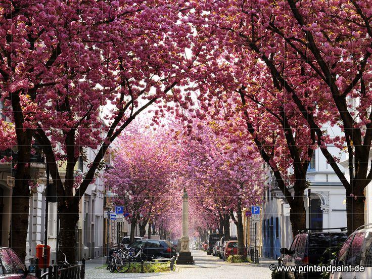 Unsere Kirschblüten-Allee ist nun auf Platz 1 !!! #cherryblossom #bonn #kirschbluetenfotowettbewerb #kirschbluetenliveticker #kibo15